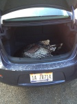 I have never seen a turkey in the trunk of a rental car, until now.